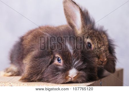 Two adorable lion head rabbit bunnys lying on a wood box while looking at the camera.