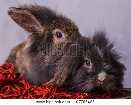 Two furry lion head rabbit bunnys sitting on a red scarf while looking at the camera.