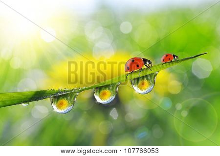 Dandelion in the drops of dew on the green grass and ladybugs. Nature background.