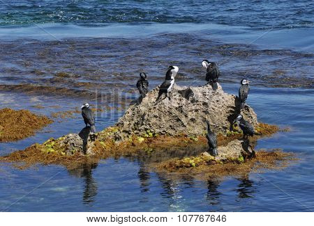 Pied Cormorants on the Rocks: Western Australia