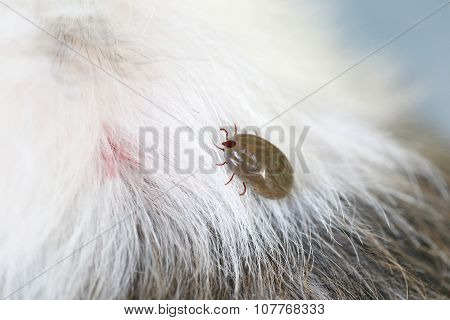 Big Tick On A Dog In Clearing.