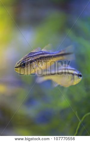 Cardinalfish Or Apogonichthyoides Niger Fish.