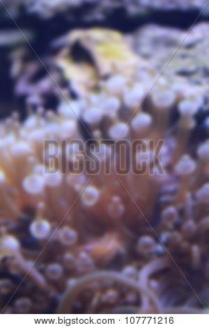 Blur Style Of Heteractis Magnifica Anemone In Underwater.