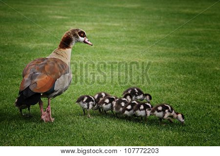 Exotic Mother Duck With Babies