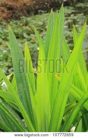 Fresh drops of dew on pandan leaves