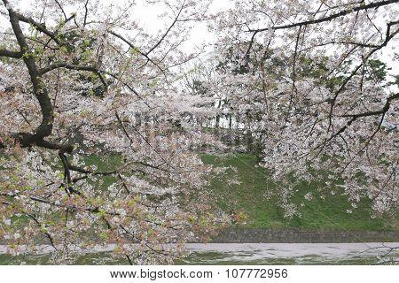 Sakura Flower Or Cherry Blossoms In Japan.