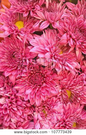 Pink Chrysanthemum Flower As Background Texture (chrysanthemum Morifolium)