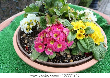 Mix Colorful Flower In Flowerpot Is Bloom.