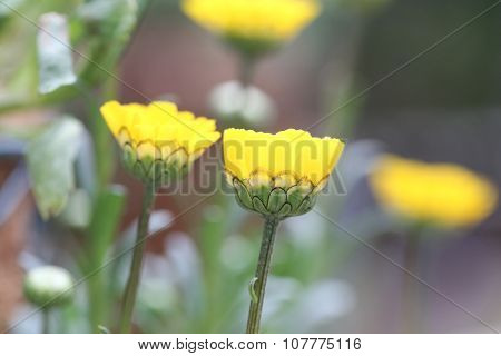 Yellow Flower Is Blooming.
