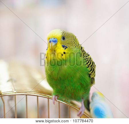 Green Budgerigar (domestic Budgie) After Swimming