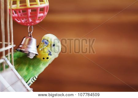 Domestic budgie sitting with his toy friend. Funny green Budgerigar