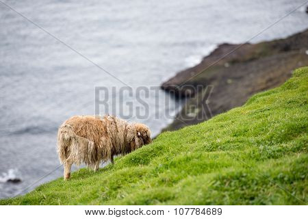 Sheep On The Faroe Islands