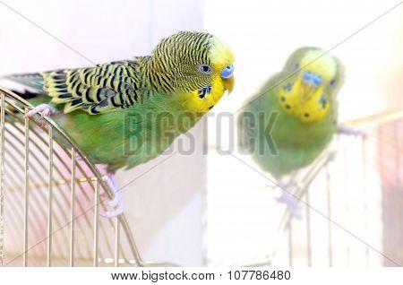 Green Budgerigar and mirror