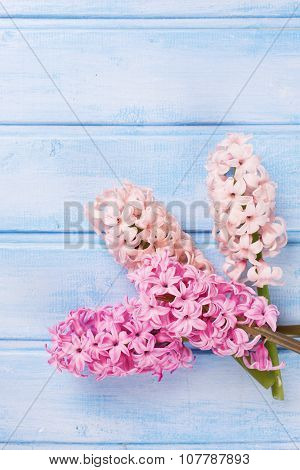 Pastel  Pink Hyacinths On Blue Painted  Wooden Planks.