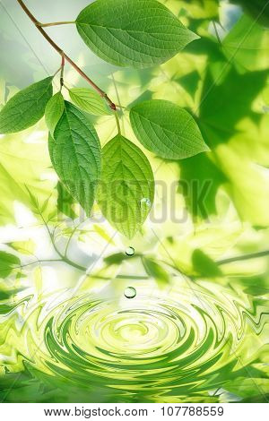 Green Leaves And Water Drops
