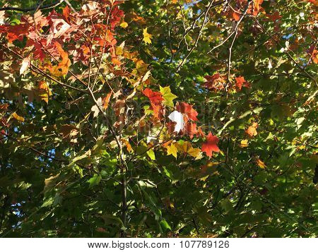 Colorful Leaves of late fall showing off color in sun