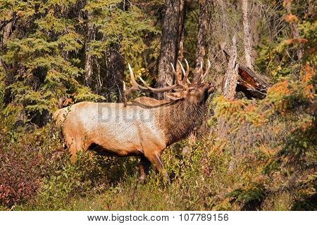 Elk scratching its back