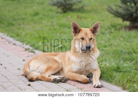 Stray Dog Lying On The Footpath
