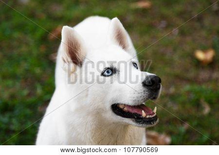 Purebred White Siberian Husky