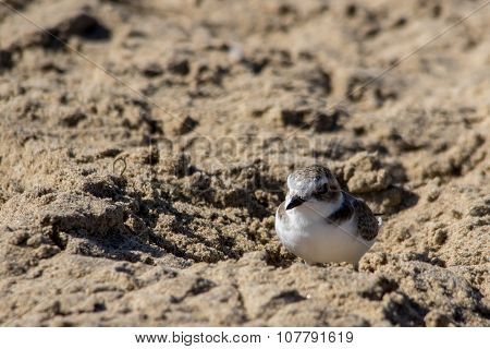 The Cute Little Snowy Plover Walking Around The Beach