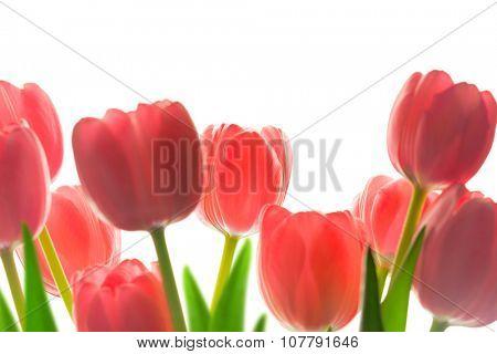 Border of Beautiful Tulips, isolated on white background, soft focus