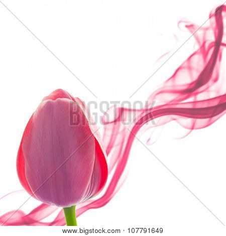 Tulip abstract background with design element on white, holiday
