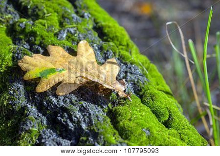 Dry oak leaf lying on tree