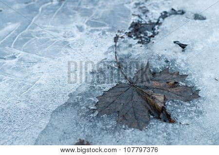 Fallen Old Maple Leaf On Frozen Ice Ground