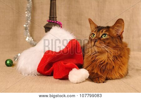 Somali cat portrait with Santa hat