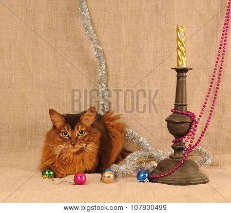 Somali cat ruddy color holiday portrait
