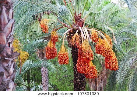 Date Palm Tree With Fruits.
