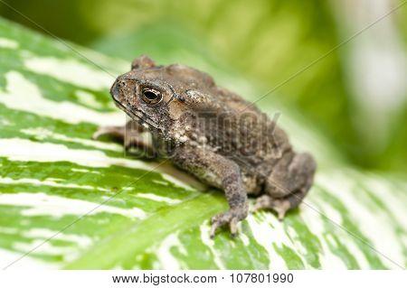 Common Indian Toad Duttaphrynus Melanostictus Asia
