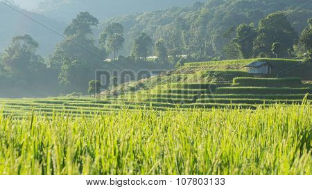 Paddy Rice Fields Of Agriculture Plantation, Chiangmai, Thailand