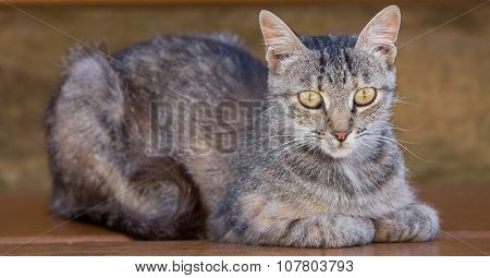 Tabby Cat standing over wooden bench
