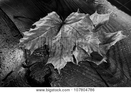 Dry Maple Leaf On An Old Board