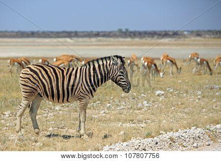An isolated Zebra on the Etosha Pan