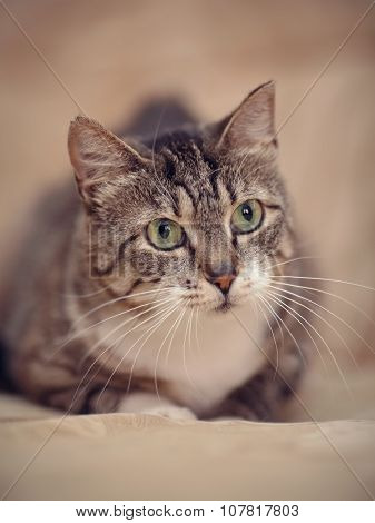 Portrait Of A Gray Striped Cat With Green Eyes.