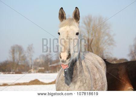 Portrait Of White Horse Licking Its Lip