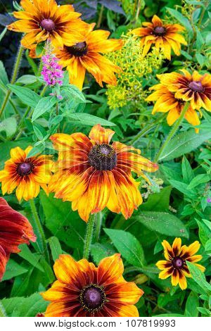 Rudbeckia Hirta - Autumn Colors