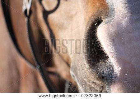 Close Up Of Brown Horse Head