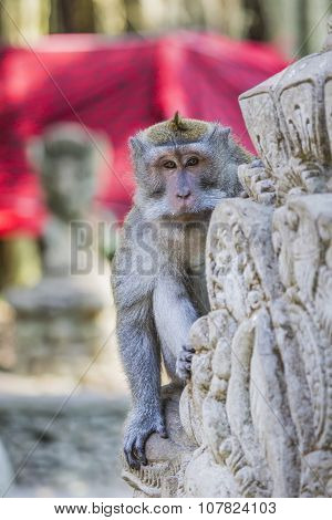 Long-tailed Macaques (macaca Fascicularis) In Sacred Monkey Forest, Ubud, Indonesia