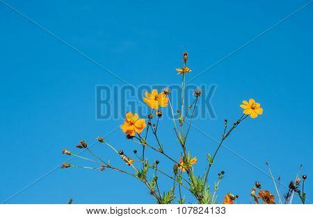 Cosmos Bipinnatus, Commonly Called The Garden Cosmos Or Mexican Aster
