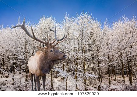 Cold sunny Christmas morning. Red deer antlered stands on edge of the forest