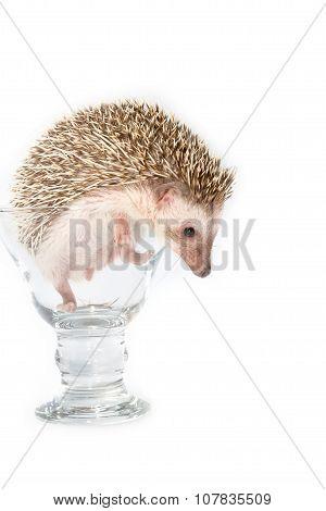 Hedgehog In The Glass , African Pygmy Hedgehog
