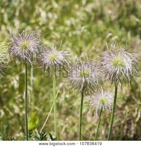 Seedheads of European Pasqueflower