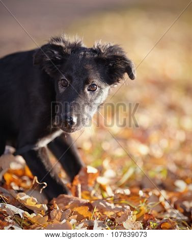 Portrait Of A Black Puppy With Autumn Leaves.