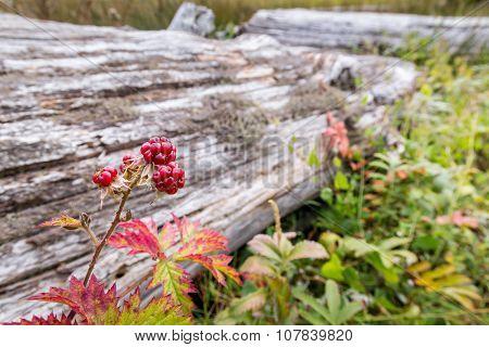 Blackberries bush brunch
