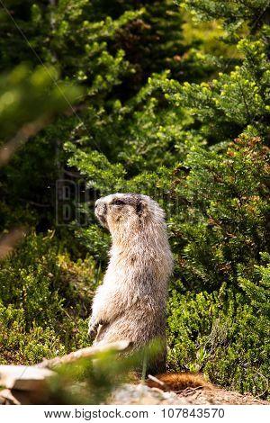 Marmot in a meadow