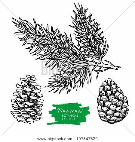 Vector Hand Drawn Botanical Pine Cone And Branch.