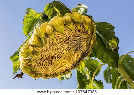 Sunflowers Wither By Sunlight